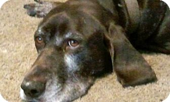 German Shorthaired Pointer Mix Dog for adoption in Cedar Rapids, Iowa - Sean