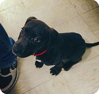 Labrador Retriever Mix Puppy for adoption in Gainesville, Florida - Kimmie