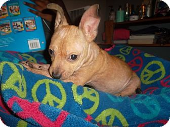 French Bulldog/Chihuahua Mix Puppy for adoption in all of, Connecticut - Mr. Peanut