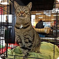 Domestic Shorthair Cat for adoption in Baton Rouge, Louisiana - Tiger