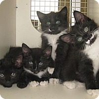 Adopt A Pet :: Panthur - Dallas, TX