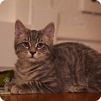 Adopt A Pet :: Acorn - St. Louis, MO