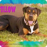 Adopt A Pet :: WILLOW - Higley, AZ