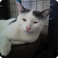 American Shorthair Cat for adoption in New Orleans, Louisiana - Timmy