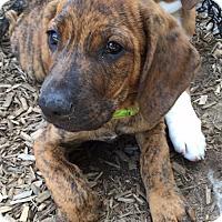 Adopt A Pet :: Manny - Sudbury, MA