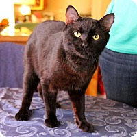 Bombay Cat for adoption in Studio City, California - Sid: dog & cat buddy