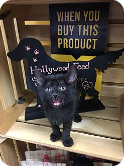 Domestic Shorthair Kitten for adoption in Chattanooga, Tennessee - Jersey