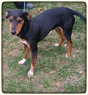 Miniature Pinscher Mix Dog for adoption in oxford, New Jersey - Bailey