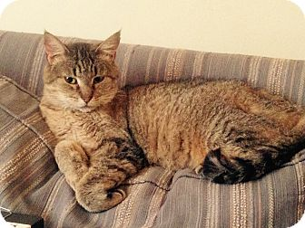 Domestic Shorthair Cat for adoption in Alhambra, California - Raspberry