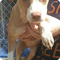 Catahoula Leopard Dog/American Pit Bull Terrier Mix Puppy for adoption in Trenton, New Jersey - Summertime