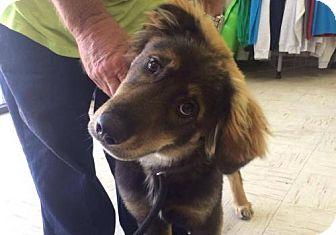 Shepherd (Unknown Type) Mix Dog for adoption in Beckley, West Virginia - Pongo