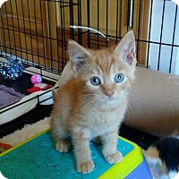 Adopt A Pet :: Kitten - Jack - Rootstown, OH