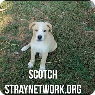 Labrador Retriever Mix Puppy for adoption in Colmar, Pennsylvania - Scotch