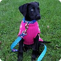 Labrador Retriever/Australian Shepherd Mix Puppy for adoption in New Oxford, Pennsylvania - Indie
