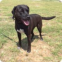Adopt A Pet :: Sable - Olympia, WA