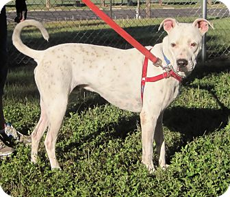 American Pit Bull Terrier/Boxer Mix Dog for adoption in Georgetown, Texas - Sam Hawkins