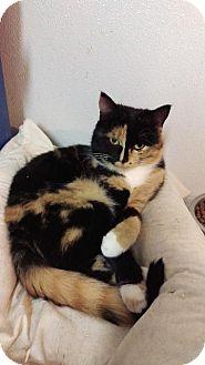 Domestic Shorthair Cat for adoption in Brainardsville, New York - Karmen