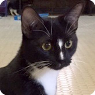 Domestic Shorthair Cat for adoption in Phoenix, Arizona - Rango