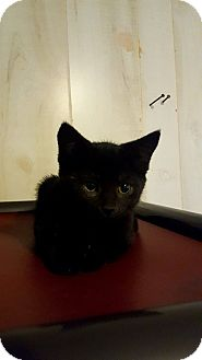 Domestic Shorthair Kitten for adoption in Fairmont, West Virginia - Cotton