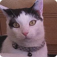Domestic Shorthair Cat for adoption in Springfield, Pennsylvania - Indy