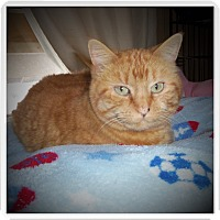 Domestic Shorthair Cat for adoption in Medford, Wisconsin - SERENA