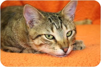 Domestic Shorthair Cat for adoption in Bonita Springs, Florida - Magic