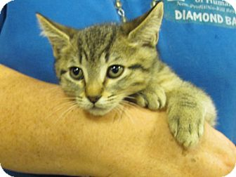 Domestic Shorthair Kitten for adoption in Diamond Bar, California - CARLISLE