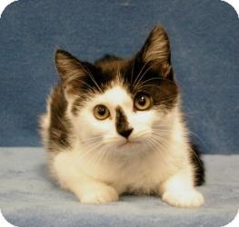 Domestic Shorthair Cat for adoption in Sacramento, California - Sporty
