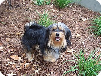 MILO | Adopted Dog | Taylor Mill, KY | Yorkie, Yorkshire ...