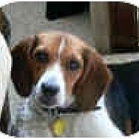 Adopt A Pet :: Hailey Daisy - Phoenix, AZ