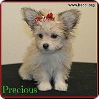 Adopt A Pet :: Precious - Plano, TX