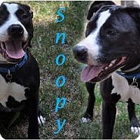 Adopt A Pet :: Snoopy - Sylvania, OH