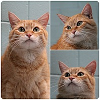 Domestic Shorthair Cat for adoption in Forked River, New Jersey - Monty
