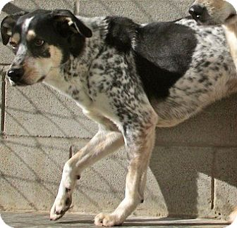 Australian Cattle Dog/Hound (Unknown Type) Mix Dog for adoption in Tahlequah, Oklahoma - Greg