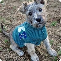 Adopt A Pet :: Skor - Pleasant Plain, OH