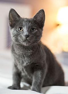Domestic Shorthair Kitten for adoption in Chicago, Illinois - Shady
