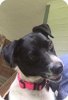 Border Collie Mix Dog for adoption in Tomball, Texas - Shadow