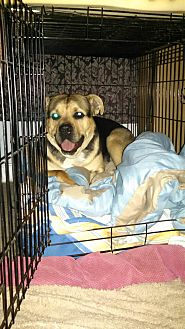 Rottweiler/German Shepherd Dog Mix Dog for adoption in Lodi, California - Nolan