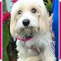 Adopt A Pet :: Addie Mae-Loving Snuggle Buddy - Seattle, WA