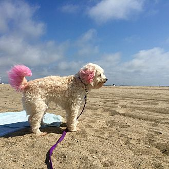 Maltese/Poodle (Miniature) Mix Dog for adoption in Redondo Beach, California - Maya loves to cuddle!