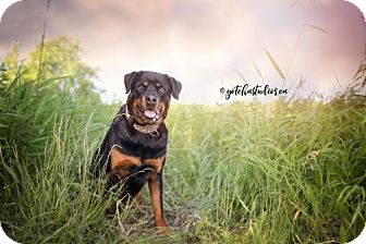 Rottweiler Dog for adoption in Keswick, Ontario - Bear (RESCUE ONLY)