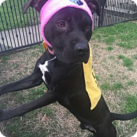 Boxer/Labrador Retriever Mix Dog for adoption in Plainfield, Connecticut - CONLEY