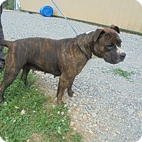 Pit Bull Terrier Dog for adoption in Springfield, Tennessee - Millie