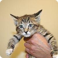 Domestic Shorthair Kitten for adoption in Wildomar, California - 312525