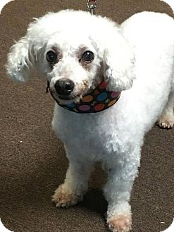 Poodle (Standard)/Bichon Frise Mix Dog for adoption in Valparaiso, Indiana - Billy