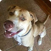 American Bulldog Mix Dog for adoption in McKinney, Texas - Leo