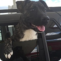 Boxer/Bull Terrier Mix Dog for adoption in Speedway, Indiana - Jaxson
