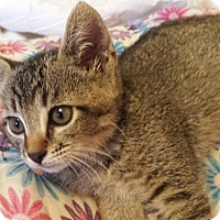 Domestic Shorthair Kitten for adoption in Alhambra, California - Minnie