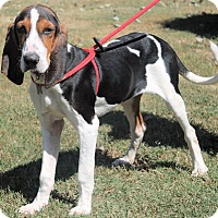 Treeing Walker Coonhound Mix Puppy for adoption in Atlanta, Georgia - Neutron