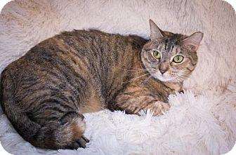 Domestic Mediumhair Cat for adoption in Savannah, Georgia - Syracuse